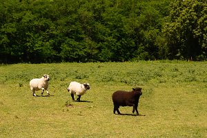Three sheep in the meadow