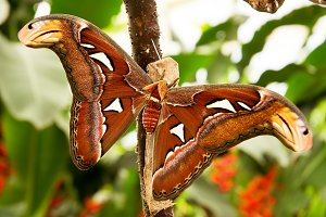 Tropical moth: Attacus Atla