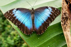 Tropical butterfly: morpho peleides