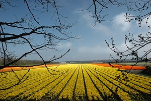 Field of yellow tulips that stretch