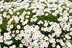 Daisies: flowers of the spring white