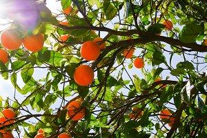 Orange tree and ripe fruits with sun