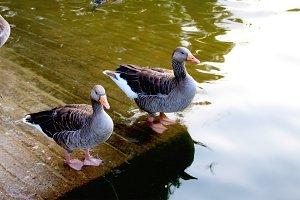 Photos of Gooses