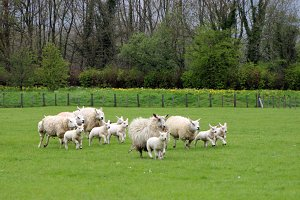 Running Sheep and lambs
