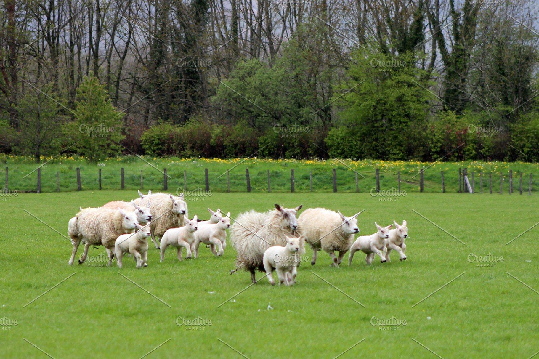 Running Sheep and lambs