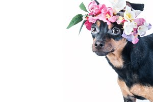 dog, Toy Terrier in a wreath