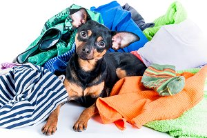 Dog mess. Dog, puppy, toy Terrier ma