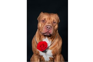 A pit bull on a black background