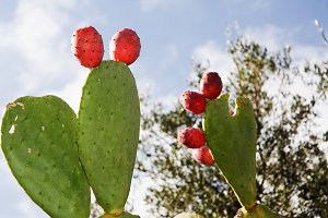 Prickly pear in Apulia (Italy)
