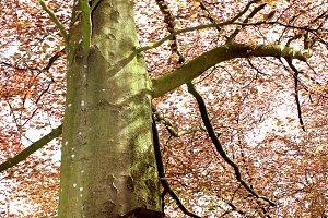 Bird box on red beech tree