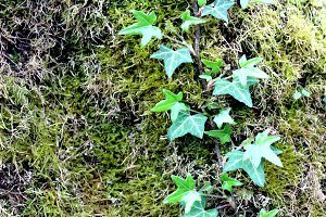 Ivy leaves on moss