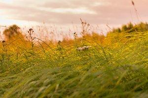 Summer grass background. Evening lig