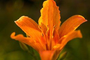 Orange lily. Flower isolate. Transpa