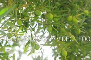 Rich harvest of olives. Tree with