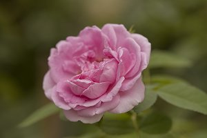 English rose flower blooming