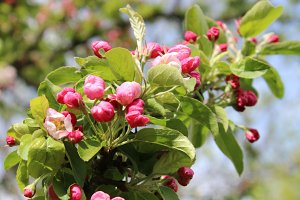 Pink Crab Apple Flowers