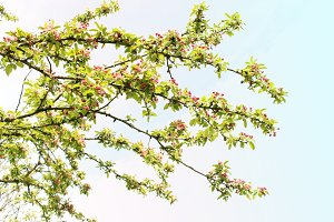 Crab apple tree branches pink flower