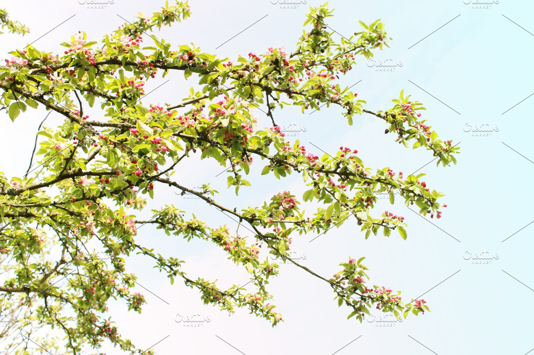 Crab Apple Tree Branches Pink Flower High Quality Abstract Stock