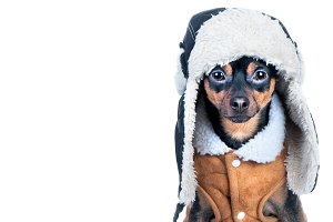 Dog in clothes isolated