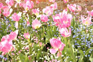 Pink tulips and blue forget me not