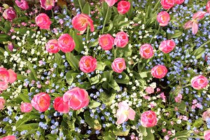 Pink tulip flower bed forget-me-not