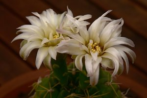 Cactus delicate pearly  flower