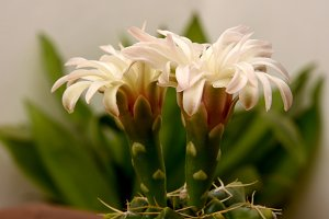 Cactus flowers of pearly petals