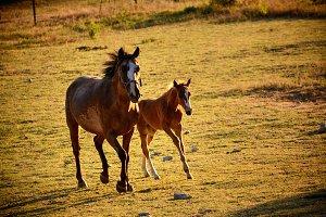 Giumenta and Puledro gallop to the p