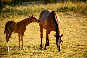 Giumenta and Free Foal to the Pastur