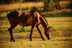 Brown horse in grazing