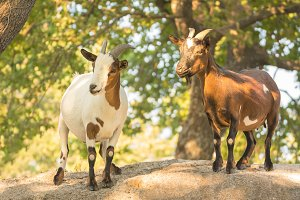 Goats with brown and white mantle on