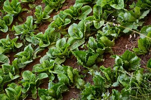 cultivated garden to lettuce and end