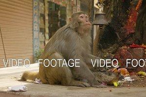 Monkey eats banana in the city near