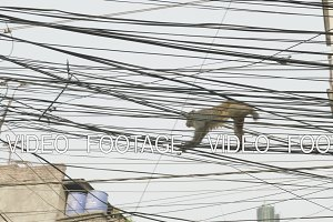 Monkey on the electricity cable in