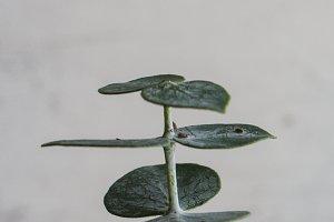 Eucalyptus Minimalism