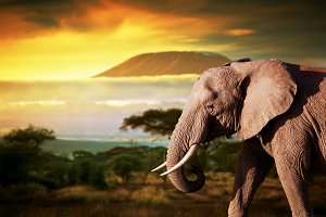Elephant on savanna landscape
