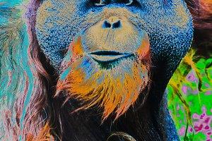Orangutan close-up
