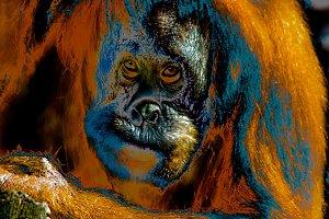 Orangutan, close-up.