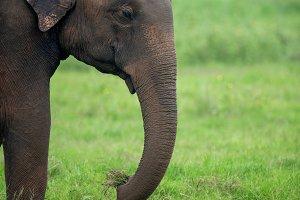 Elephants in National Park of Sri La