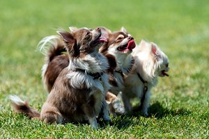 Three Longhair Chihuahua dog