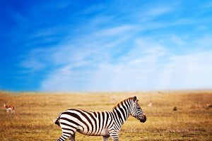 Zebra on African savanna