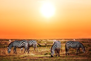 Zebras herd on savanna at sunset