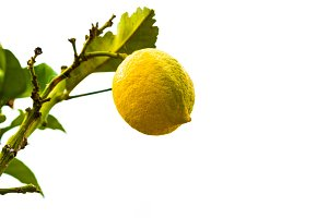 Branch of lemon tree