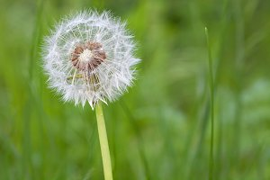 Nature background,  dandelion