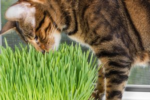 Cat sniffing and eating green grass