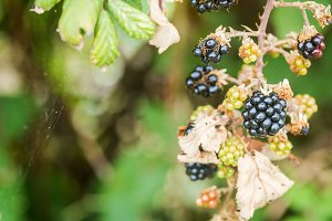 Ripe and unripe blackberries