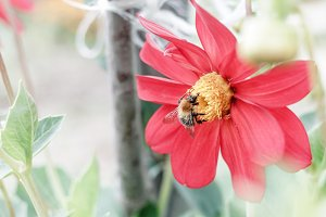 Bee on red flower dahlia