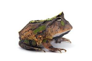 Amazonian Horned Frog isolated