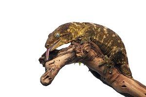 New Caledonian giant gecko isolated