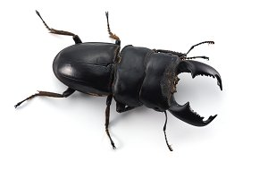 Giant Stag Beetle isolated on white